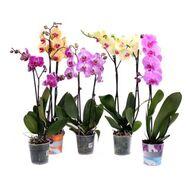 Орхідея фаленопсис Multi 2st Mix (pannekoek), фото 1