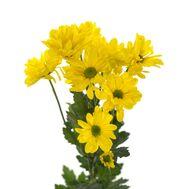 Хризантема Tr Celebrate Ex 70 см, фото 1