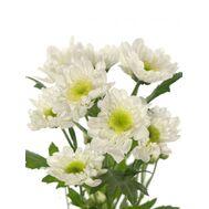 Хризантема Tr Radost White 70см
