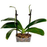 Орхидея не цветущая