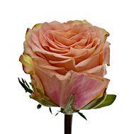 Роза Gr Love Pearl