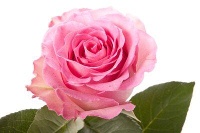 Троянда Еквадор Sweet Unique довжиною 50 см рожева