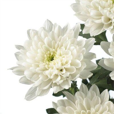 Хризантема BALTICA* белая