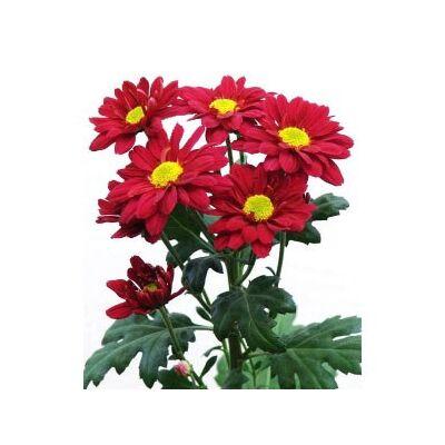 Хризантема Chrysant santini Adora червона
