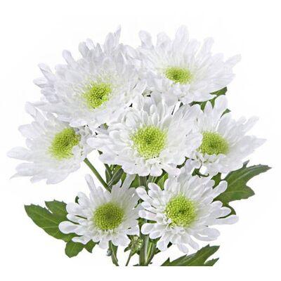 Хризантема Radost біла з жовто-зеленою серцевиною