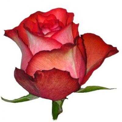 Роза Эквадор Iguazu длиной 80 см розовая