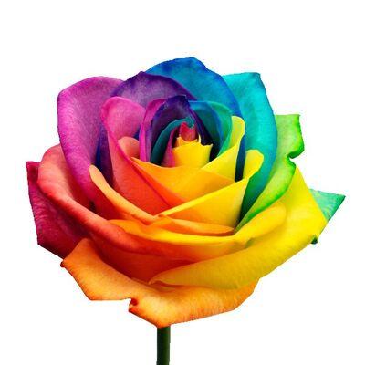 Роза Эквадор крашеная длиной 70 см