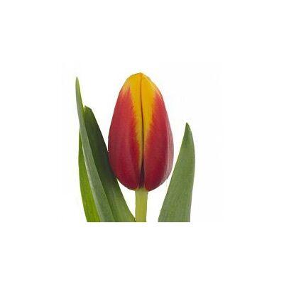 Тюльпан Oriental Splendour красно-жёлтый