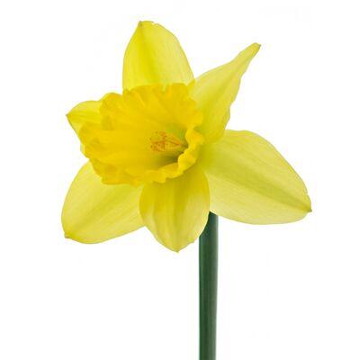 Нарцисс жёлтый